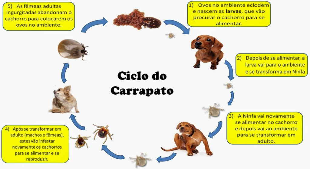 ciclo-do-carrapato-0